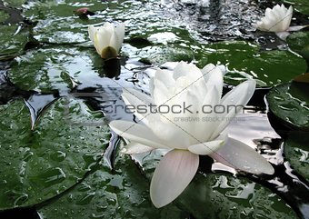 Beautiful pink waterlily or lotus flower in a pond with rain drops