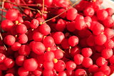 harvest of red schisandra