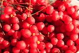 harvest of red schisandra