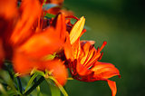 Orange lily closeup