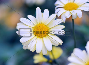 Camomile outside on blue background