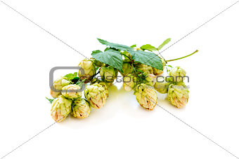 Branch of hop with cones.