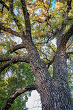 Giant cottonwood tree with fall foliage