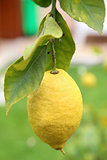 Lemon with foliage in closeup