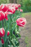 Bent tulip