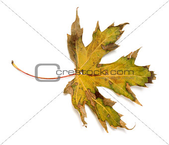 Autumn dry leaf