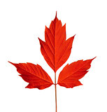 Red acer negundo leaf