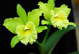 Green Cattleya orchid flower