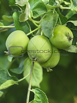 Green apples fruit on a branch