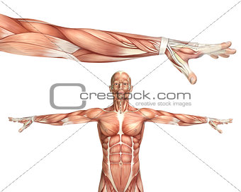 3D medical figure showing elbow pronation