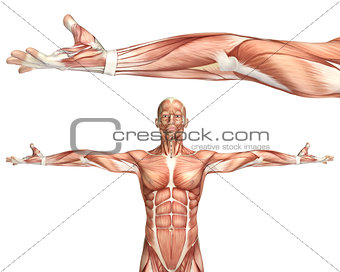 3D medical figure showing elbow supination