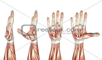 3D medical figure showing thumb abduction, adduction, extension