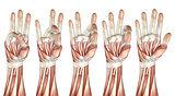 3D medical figure showing thumb touching each finger