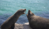 Fur Seals Interacting Arguing