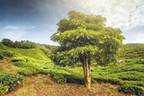 Big tree on tea plantation