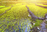 paddy fields in Nepal
