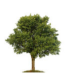 green elm tree, isolated over white