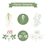 Ginseng. Isolated plant on white background