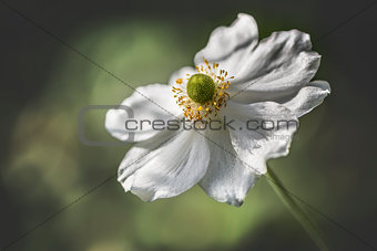 Single White Japanese Anemone
