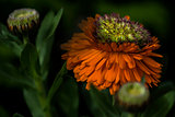 Calendula Officinalis - Greenheart Orange