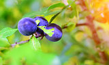 Detail of sloe or blackthorn