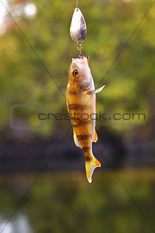 Caught Perch with spinning lure hanging over the water