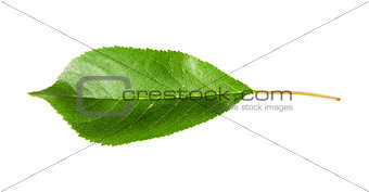 Single green leaf of cherry horizontally