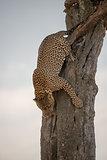 Leopard climbing down tree on African savannah