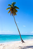 Palm tree on the beach of Isla Saona