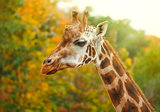 Giraffe animal in nature