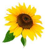 Flower sunflower with green leaf