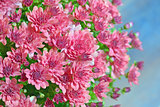 pink autumnal chrysanthemum