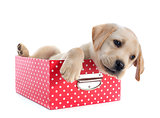 puppy labrador retriever in box