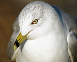 Close up of a beautiful Ring-Billed seagull with its distinctive beak and yellow eyes