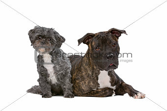 A stafford  and a Lhasa apso dog