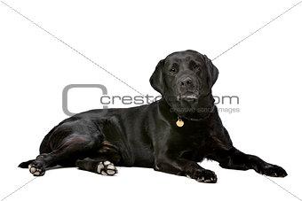 black ten years old Labrador