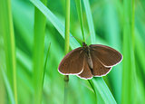 Big brown butterfly resting on grass