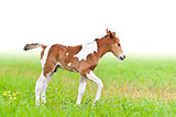 Horse foal walking in green grass