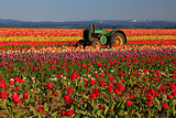 Oregon Tulip Field & Tractor
