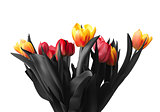 Tulip flowers, isolated on white background.