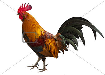 Cuban Rooster