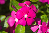 Closeup of Madagascar rosy periwinkle flower