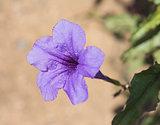 Closeup of a wild petunia flower