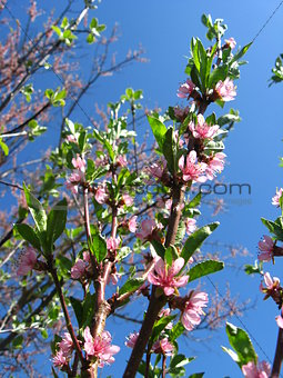 Blossoming tree of peach