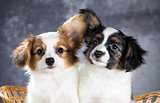 Two funny Papillon puppy