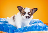 Cute Papillon puppy on a orange background