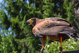 Big and powerful bird of prey hawk