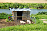pigs with shed