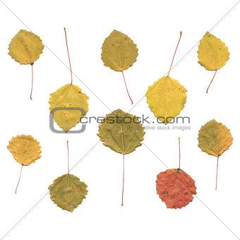 Autumn birch or Betula, aspen or Populus tremula leaves