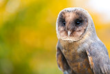 Melanistic or Black Barn Owl